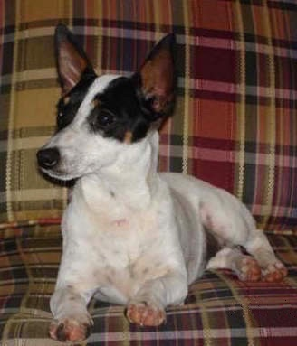 A white with black and tan Jack-Rat Terrier is laying on a plaid couch and looking to the left