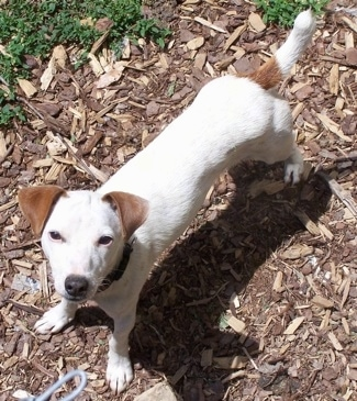 View from above - A white with tan Jack-Rat Terrier is standing on wood chips and looking up