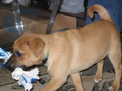 A tan Jack-A-Ranian puppy is walking next to a glass coffee table with a blue and white rope toy in its mouth.