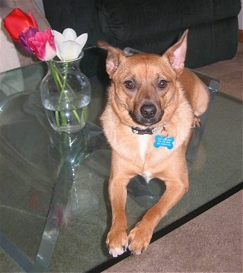 A tan Jack-A-Ranian puppy is laying on a glass table next to a vase with four flowers in it.
