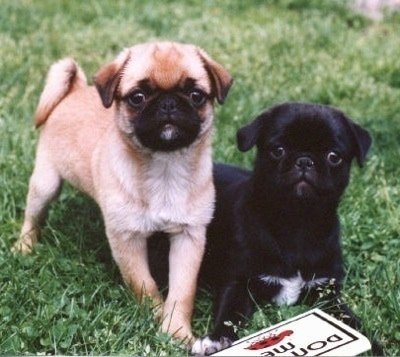 A tan Japug puppy is standing next to a black Japug puppy that is laying down in grass