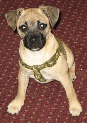 A Jug puppy is wearing a camo harness and it is sitting on a maroon rug that has orange dots on it