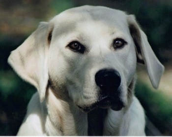 Close up head shot - the head of a yellow Labrador Retriever that is outside.