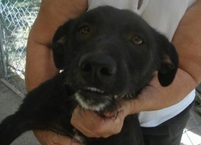 Close Up - A black with white Lab'Aire is in the arms of a lady. Its bottom teeth are showing against its black coat. Its chin is gray.