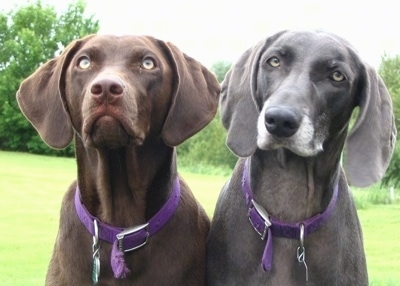 Close up upper body shots - A chocolate and a graying black Labmaraner are sitting in a field and looking up.