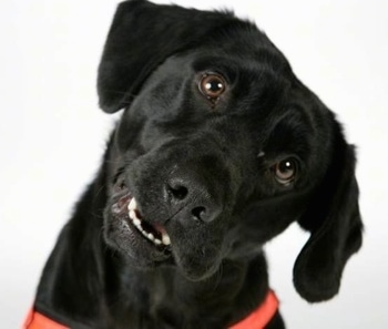 Close Up front view head shot - The face of a black Labradinger dog wearing a bright orange harness with its head tilted to the right. Its mouth is open.