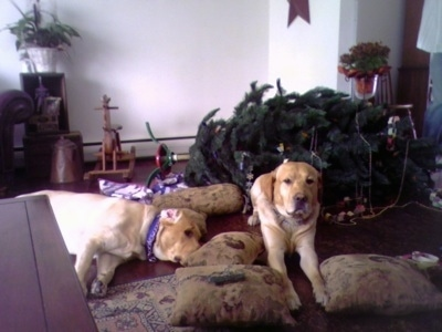 Wilbur and Parker the Yellow Labs are laying in front of a knocked down Christmas tree with pillows around them