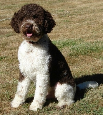 A curly brown and white Lagotto Romagnolo is sitting in grass and looking forward. Its mouth is open and tongue is out.