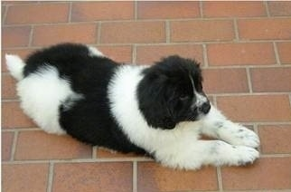 View from the top looking down side-ways - A small black and white Landseer puppy is laying on a brick floor.