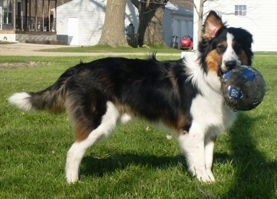 Right Profile - A black with white and brown Collie/Labrador/German Shepherd/Pit Bull/Rottweiler mix is standing in grass in a backyard and it has a soccer ball in its mouth. One of its ear is flopped over.