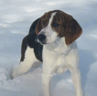 Front side view - A drop-eared, tricolor black and white with tan Walking Coonhound/Plott Hound mix is standing in snow looking to the left.