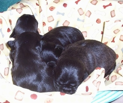 A litter of black with white Malti-Pug puppies are sleeping with each other in a basket lined with a yellow blanket that has dog bone prints on it.
