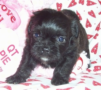 Malti-Pug (Maltese / Pug Hybrid) Puppy at 2 weeks old