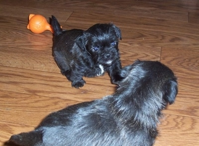 Littermates - Two black with white Malti-Pug puppies are playing on a hardwood floor. There is an orange toy behind them.