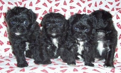 Four black with white Malti-Pug puppies are sitting in a row on top of a couch covered in a white with red heart blanket.