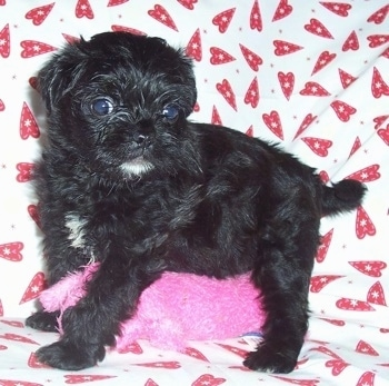 A black with white Malti-Pug puppy is standing on top of a hot-pink plush bear looking to the left on top of a white blanket that has red hearts on it.