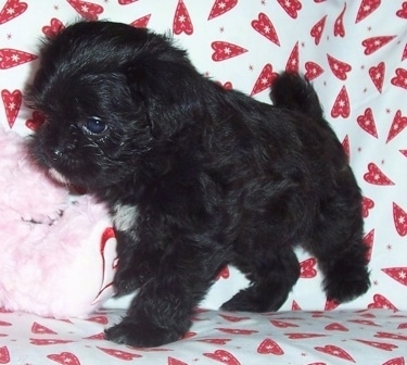 A black with white Malti-Pug puppy is standing on a couch next to a pink plush bear on top of a white with red heart blanket.