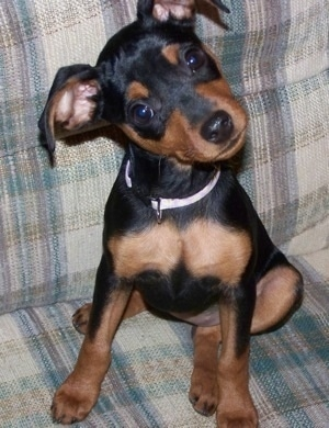 View from the front - A black and tan Miniature Pinscher puppy is sitting on a light colored tan and blue plaid couch with its head tilted to the left.