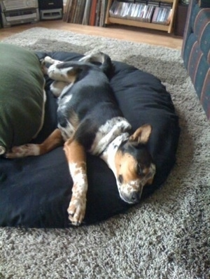 A black, white and tan ticked Queensland Heeler mix breed dog is laying stretched out on its left side sleeping on a dog bed pillow next to a couch.