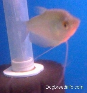 A moonlight gourami is swimming in front of a tube inside of a tank