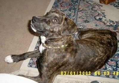 Mountain Cur Dog Breed Information And Pictures