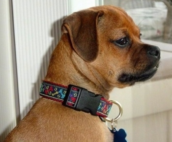 Side view head shot - A tan Muggin dog is sitting in a doorway looking to the left.
