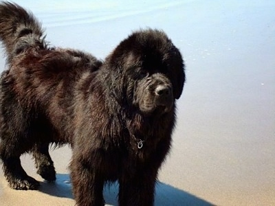 Front side view - A large breed, fluffy black Newfoundland dog is standing on a sandy beach and behind it is a body of water. The dog looks like a bear.
