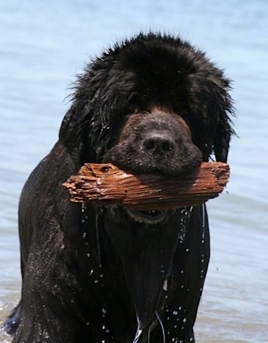 Front view upper body shot - A wet black Newfoundland dog has a piece of dripping wet driftwood in its mouth. There is a body of water behind it.