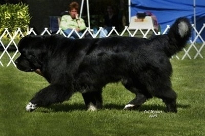 Side view - A black with white Newfoundland is trotting across a field at a dog show. Under the dogs back paws are the words - Jill Wagner 2007.