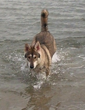 front view - A black with tan and white Northern Inuit Dog is running across water with its tail up in the air.