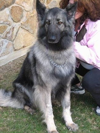 Meadow the Shiloh Shepherd sitting outside in front of a house with a lady kneeling beside her