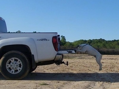 Side view - A white with tan Olde English Bulldogge is jumping on to the bed of a white truck. All four of its paws are off of the ground.