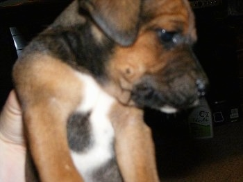Close up - A brown and black Original Mountain Cur puppy is being held in the air by a persons hand. The pup is looking off to the right.