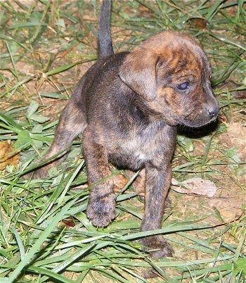 Front view - A brown and black Original Mountain Cur puppy is standing in grass looking to the right. Its left paw is in the air. The puppies tail is up.