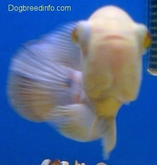 An albino white and orange tiger oscar is swimming forward