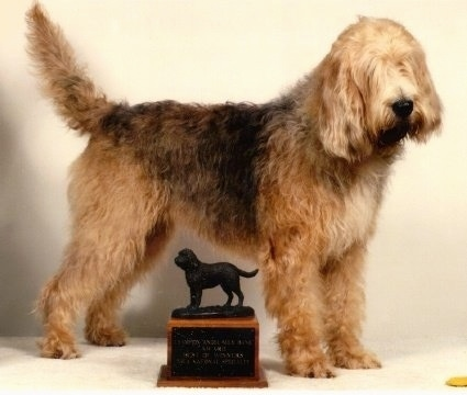 Right Profile - A shaggy, tan with brown and white Otterhound dog is standing in front of a trophy that has a hound on it and it is looking to the right. It has hair covering its eyes.