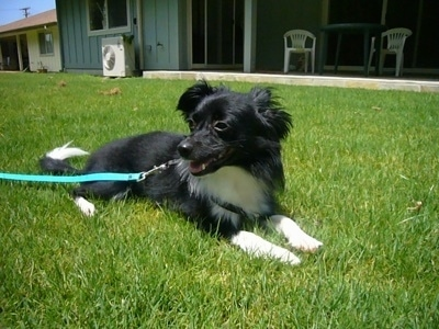 Front side view - A black with white Paperanian dog is laying in grass looking to the left. Its mouth is open.