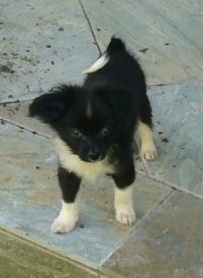 Front view - A black with white Paperanian puppy is standing on a stone tiled floor looking forward. Its tail is curled up over its back.