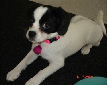 Front side view - A white with black Peagle dog is wearing a hot pink collar laying on a carpet looking up.