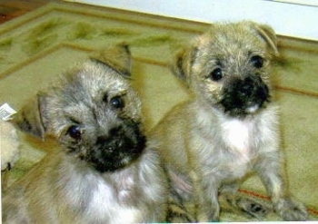Front side view - Two wiry-looking, tan with white Peka-A-West puppies are sitting on a rug next to each other and looking at the camera. The forward most puppy is tilting its head to the left.