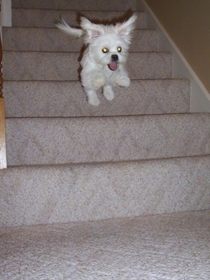 Tinkerbell the Peek-a-Poo jumping down the steps.