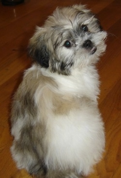 The backside of a fluffy white with grey and tan Peke-A-Tese puppy. It is standing on a hardwood floor and it is turned to look back towards the camera.