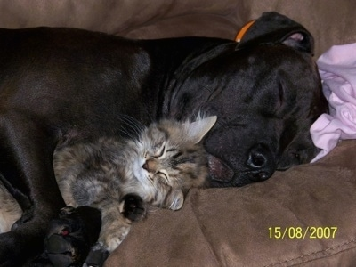 Close up - The right side of a black American Pit Bull Terrier that is sleeping cuddled behind a cat.