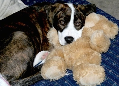 A brown brindle with white Pit Bull mix dog is laying on a blue couch and its head is on a tan plush teddy bear.