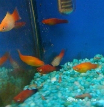 A school of platy Fish are swimming under a filter inside of a tank that has teal blue gravel and a blue background.