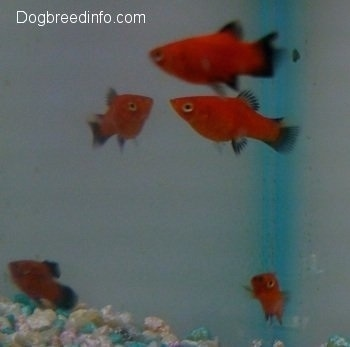 Five red and black platy fish are swimming around an aquarium