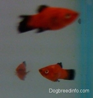 Three red and black platy fish are swimming