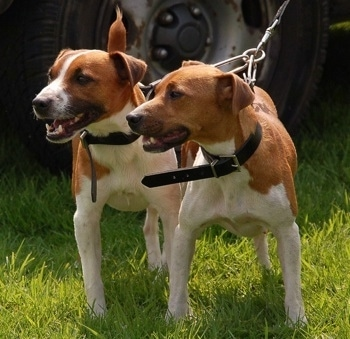 Front view - Two red with white Plummer Terrier dogs are standing in grass looking to the left. Both of their mouths are open.