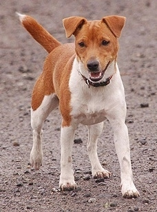 Front view - A short-haired, rose-eared, red with white Plummer Terrier dog is walking across dirt. Its mouth is open and tongue is out.