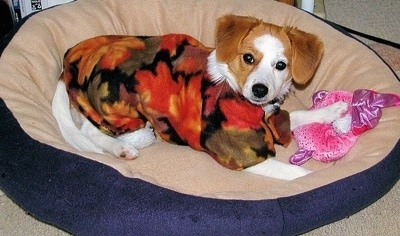 A drop-eared, white with red Pomeagle puppy is laying in a tan and blue dog bed wearing an autumn colored shirt with a fluffy pink toy under its front left paw.